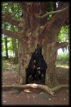 Giant bole of the 1500 Year old Yew at Wychbury Hillfort